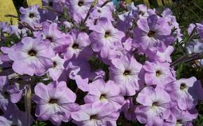 Картинка лето, цветы, сиреневые, петунии, Meduzanol ©