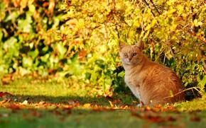 Картинка осень, кошка, кот, взгляд, рыжий, кусты, боке, котейка
