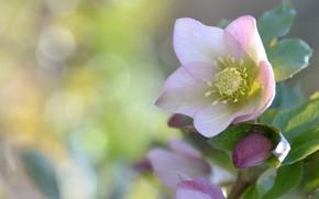 Картинка макро, фон, цветочек, морозник, Геллеборус