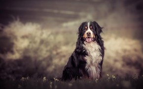 Картинка язык, трава, природа, фон, собака, сидит, бернский зенненхунд