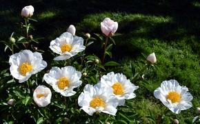 Картинка цветы, природа, белые