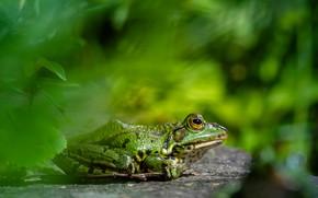 Картинка фон, лягушка, зеленая, боке
