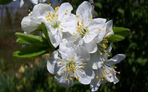 Картинка лепестки, тычинки, цветущее дерево, белые цветы, слива, Meduzanol ©