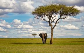 Картинка поле, дерево, слон, саванна, Африка, прогулка