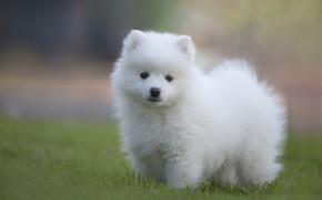 Картинка белый, трава, взгляд, поляна, собака, щенок, белая, мордашка, лужайка, шпиц