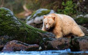 Картинка лес, поза, камни, мох, светлый, медведь, водоем, дикая природа, кермод