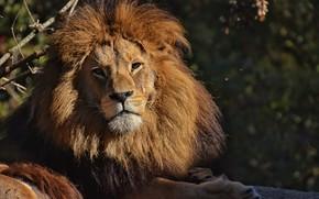 Картинка ветки, природа, животное, хищник, лев