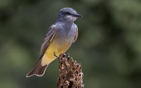Картинка птица, ветка, королевский тиранн Кассина