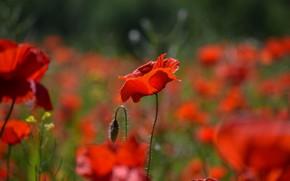 Картинка свет, цветы, поляна, мак, маки, красные, боке, маковое поле