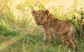 Картинка трава, взгляд, природа, поза, малыш, дикая кошка, львенок, львёнок