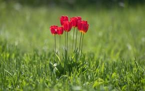 Картинка зелень, трава, свет, цветы, стебли, поляна, весна, лепестки, тюльпаны, красные, бутоны, лужайка, зеленый фон, боке
