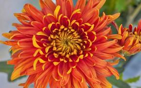 Картинка цветок, лепестки, хризантема
