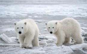 Картинка зима, снег, медведи, пара, белые, медвежата, два, белые медведи