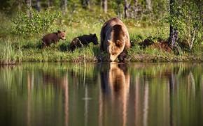 Картинка трава, свет, природа, отражение, берег, медведи, медвежата, водопой, водоем, медведица, бурые