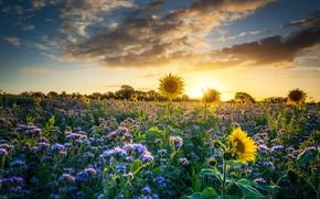 Картинка поле, лето, небо, солнце, облака, лучи, свет, подсолнухи, цветы, настроение, луг, подсолнечник, цветущий