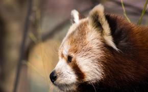 Картинка взгляд, морда, фон, портрет, профиль, красная панда, малая панда