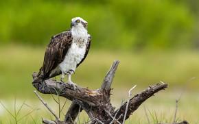 Картинка птица, хищник, коряга