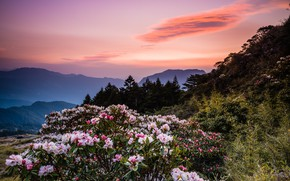 Картинка лес, небо, облака, закат, цветы, горы, природа, туман, заросли, холмы, красота, весна, вечер, утро, ели, …