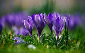 Картинка трава, макро, весна, боке, Крокусы, Шафран