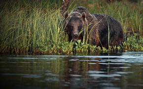 Картинка трава, природа, животное, хищник, медведь, водоём, бурый, Александр Перов