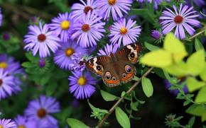 Картинка Цветы, Бабочка, Листья, Лепестки, Астры, Стебли
