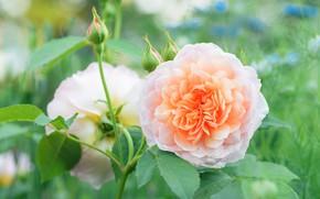 Картинка листья, розы, сад, оранжевые, дуэт, бутоны, боке