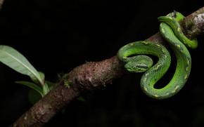 Картинка взгляд, поза, змея, ветка, черный фон, зеленая, рептилия