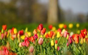 Картинка тюльпаны, бутоны, много, боке