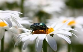 Картинка цветы, фон, ромашки, жук