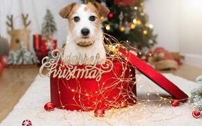Картинка взгляд, шарики, поза, комната, коробка, подарок, надпись, собака, огоньки, Рождество, Новый год, мех, коврик, ёлка, …