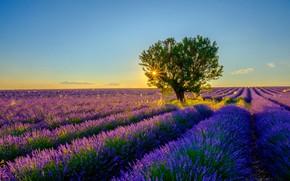 Картинка лето, солнце, лучи, свет, закат, цветы, дерево, вечер, горизонт, ряды, лаванда, плантация, голубое небо, лавандовое …