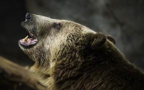 Картинка медведь, гризли, рык