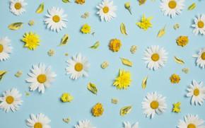 Картинка цветы, ромашки, white, хризантемы, yellow, flowers, background, голубой фон, camomile, floral