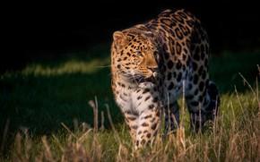 Картинка лето, трава, взгляд, свет, поза, темный фон, леопард, прогулка