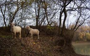 Картинка осень, пара, козы, Meduzanol ©