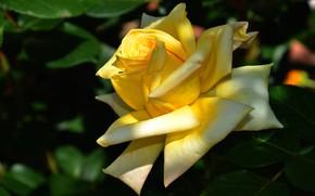 Картинка цветок, листья, свет, цветы, темный фон, роза, сад, бутон, желтая