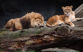 Обои поза, темный фон, дерево, отдых, сон, лев, спит, дикие кошки, львица, зоопарк, лень, лежат
