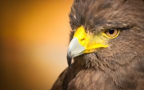 Картинка птица, хищник, клюв, ястреб