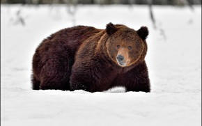 Картинка зима, взгляд, снег, природа, медведь, сугробы, прогулка, крадется