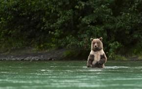 Картинка лес, вода, берег, медведь, купание, водоем, бурый