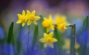 Картинка размытость, жёлтые, Нарциссы