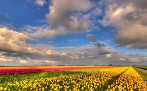 Картинка поле, облака, цветы, природа, синева, красота, позитив, весна, желтые, тюльпаны, красные, ярко, грядки, Нидерланды, бутоны, …