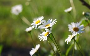 Картинка цветы, фон, ромашки