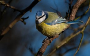 Картинка ветки, синий, фон, птица, птичка, синичка, синица