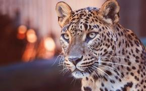 Обои взгляд, морда, огни, фон, портрет, леопард, дикая кошка, боке, размытый