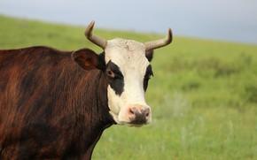 Картинка корова, морда, фон