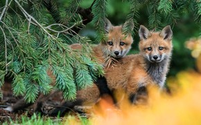 Обои лес, ветки, природа, поза, фон, пара, малыши, рыжие, парочка, хвоя, дуэт, два, мордашки, лисенок, лисёнок, ...