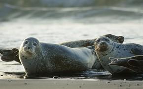 Картинка море, пляж, взгляд, поза, берег, тюлень, пара, парочка, два, водоем, лежат, мордашки, ластоногие, тюлени, развалились