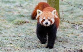Картинка трава, панда, красная