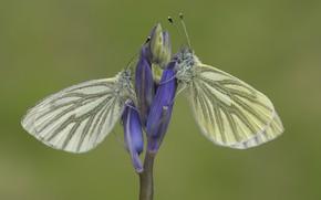Картинка бабочки, фон, пара